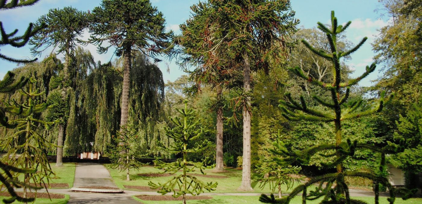 Monkey Puzzle trees at Sewerby Park